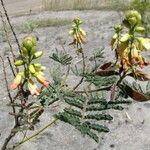Caesalpinia trichocarpa