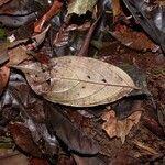 Licania affinis