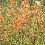 Sphaeralcea ambigua Flor