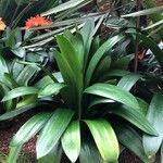 Clivia miniata Leaf