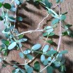 Euphorbia serpens Hoja