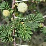 Acacia gerrardii