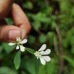 Euphorbia ariensis