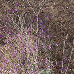 Boerhavia anisophylla