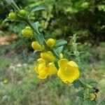 Aureolaria virginica