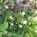 Lobularia maritima 花