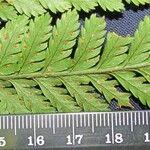 Lastreopsis