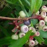 Cavendishia bracteata