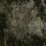 Licania laxiflora