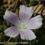 Malva longiflora