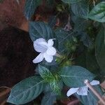 Barleria cristata Flower