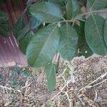 Blighia sapida Leaf