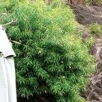 Thevetia peruviana 花
