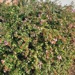 Abelia x grandiflora List