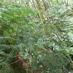 Vandenboschia gigantea