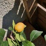 Fortunella japonica 果実