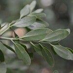 Psittacanthus ramiflorus