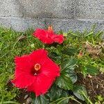 Hibiscus rosa-sinensis Kwiat