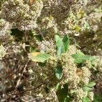 Bystropogon canariensis