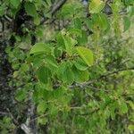 Prunus mahaleb Foglia