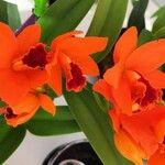 Cattleya spp.