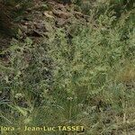 Festuca longifolia