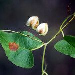 Cardiospermum corindum