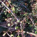 Cotoneaster procumbens