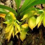 Catasetum maculatum