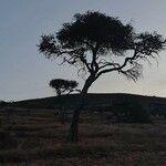 Boscia coriacea