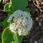 Viburnum lantana 花