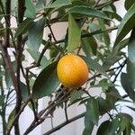 Fortunella japonica Fruto