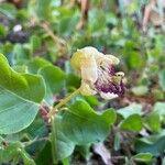 Capparis spinosa Flower