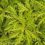 Argyranthemum dissectum