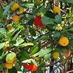 Arbutus unedo Frukt