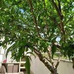 Prunus domestica Feuille