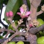 Dutaillyea trifoliolata