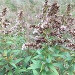 Solidago canadensis Virág