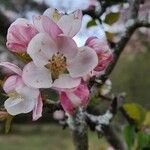 Malus sylvestris Kvet