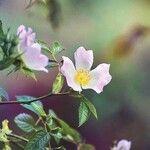 Rosa micrantha