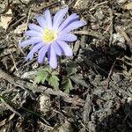 Anemone blanda Fleur