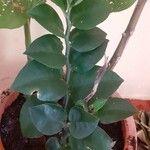 Pedilanthus tithymaloides Leaf