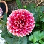 Dahlia spp.