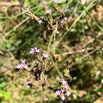 Verbena brasiliensis Kwiat