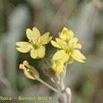 Aurinia sinuata