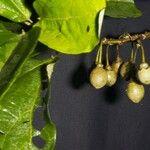 Hampea appendiculata