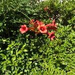 Campsis radicans Fiore