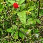 Rubus rosifolius Blad