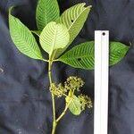 Psychotria mortoniana