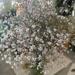 Gypsophila paniculata Flor